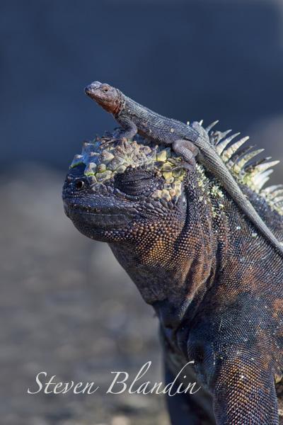Galapagos Marine Iguana with Lava Lizard - Photography tour