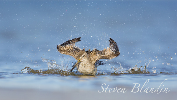 Short-billed Dowitcher bathing - Florida photography workshop