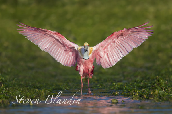 Roseate Spoonbill photography workshop - Alafia Banks, Florida