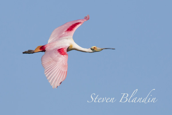 Spoonbill photography tour - Florida