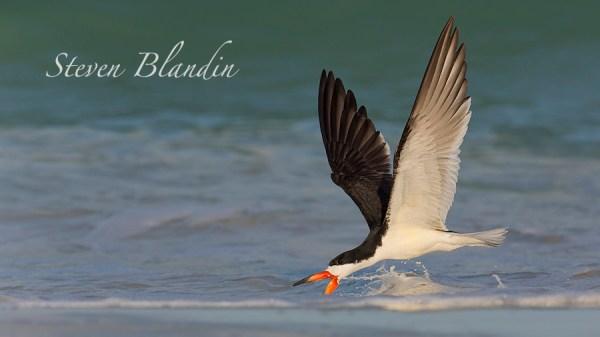 Black Skimmer skimming the water - Indian Shores, Florida photo tour