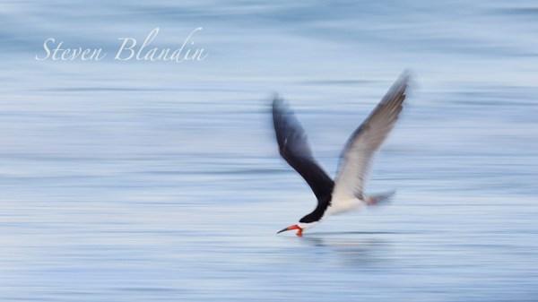 Black Skimmer skimming - Florida bird photography tour
