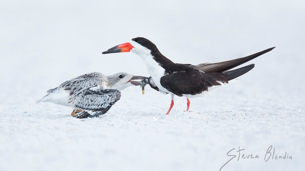 Skimmer feeding chick - Bird photography tour, Florida