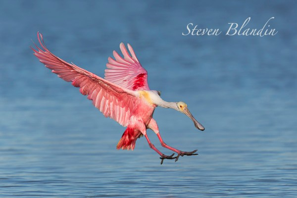 Roseate Spoonbill landing in the Florida water of Tampa Bay