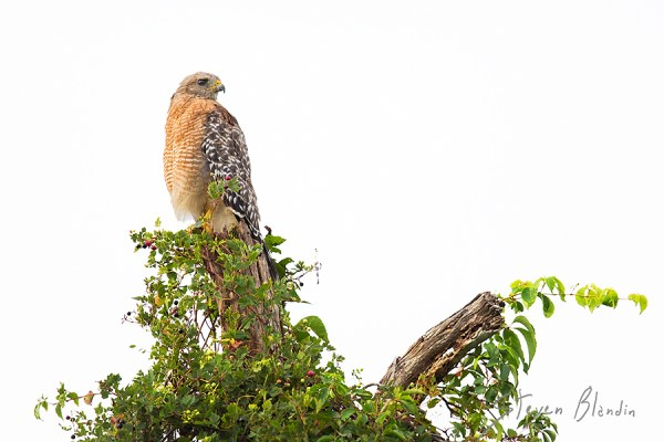Red shouldered Hawk - Circle B Bar, Florida