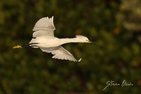 Snowy Egret in flight - Florida photography tour