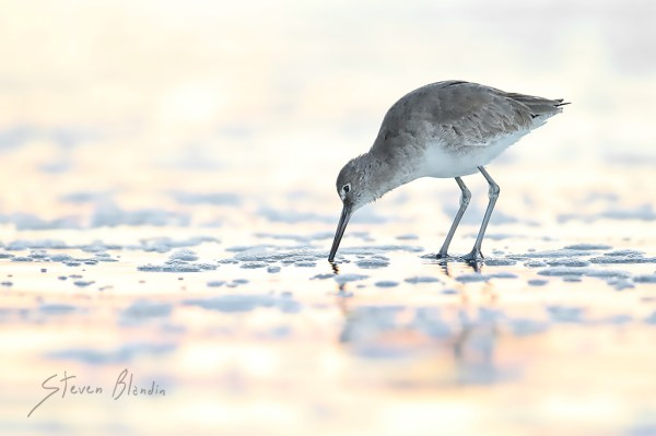 Willet foraging - Fort Desoto, Florida
