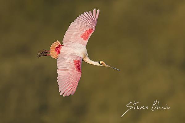 Spoonbill banking shot - Birds in flight photography