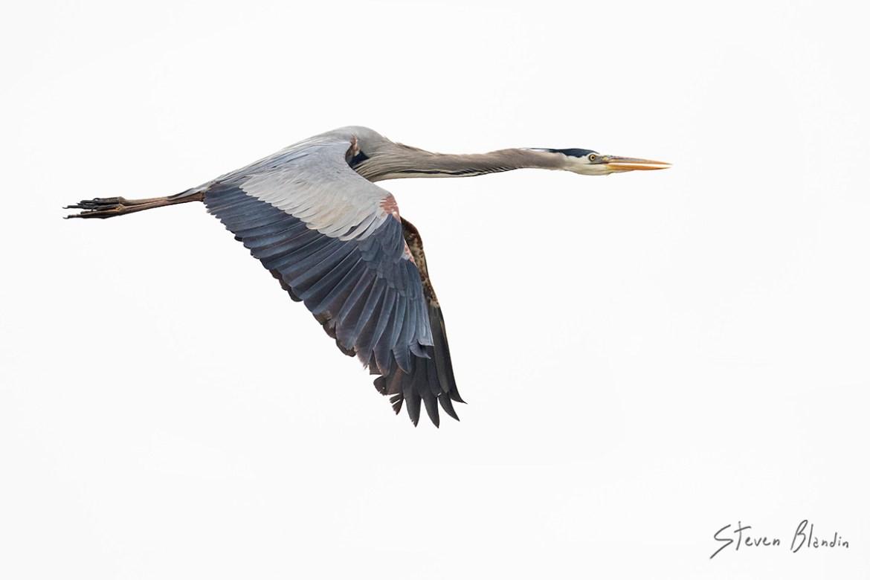 Great Blue Heron - Tampa Bay