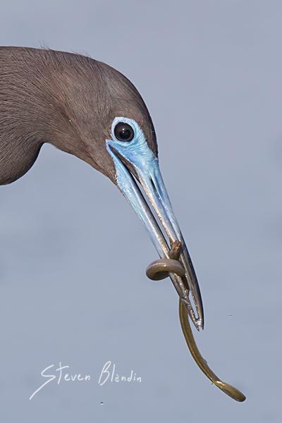 Little Blue Heron with prey - Sarasota Bay, Florida