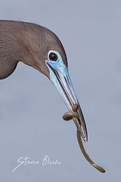 Little Blue Heron with prey - Sarasota Bay, Florida