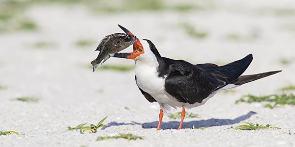 Black Skimmer with big fish in its beak - Indian Shores, Florida