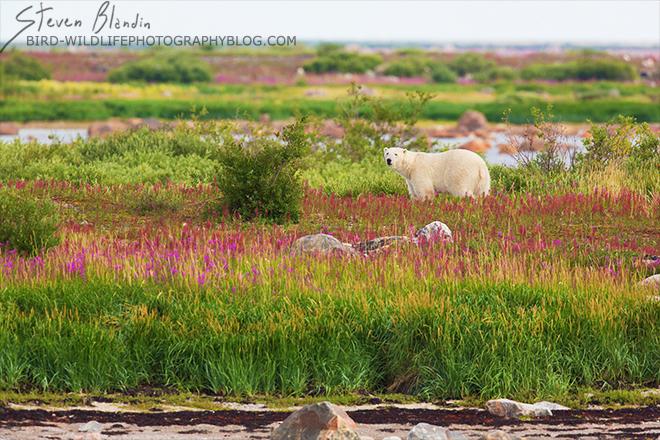 Polar Bear - 2015 BBC Wildlife Photographer of the Year