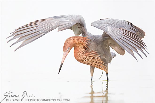 Reddish Egret - 2015 BBC Wildlife Photographer of the Year