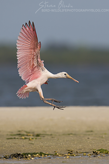 Young Spoonbill landing - Florida photography tour