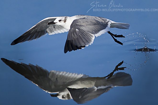 Laughing Gull taking off - Canon 300mm f/4 IS
