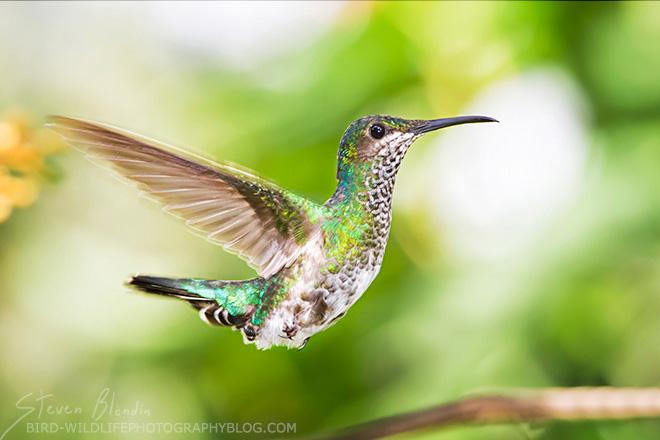 White-necked Jacobin Hummingbird - Canon 300mm f/4 IS