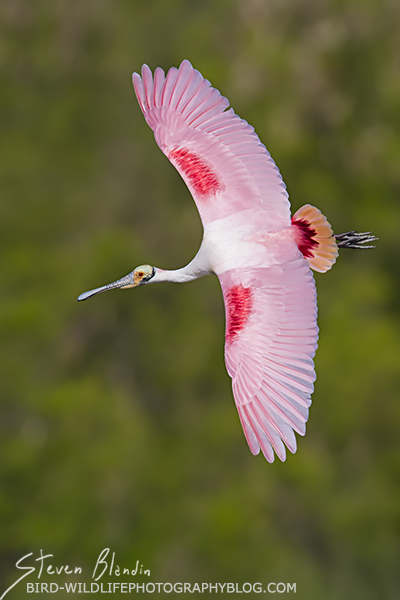 Roseate Spoonbill perfect banking in flight
