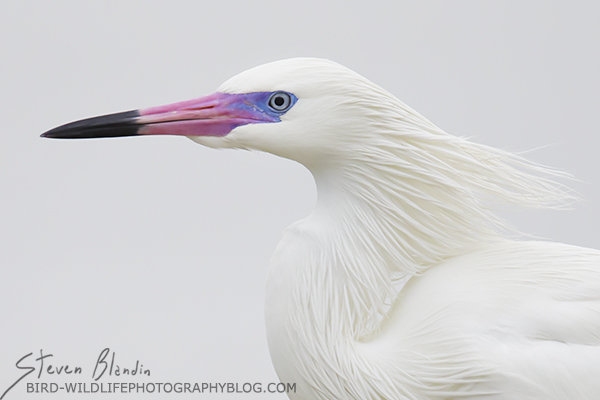 White Morph Reddish Egret with breeding colors