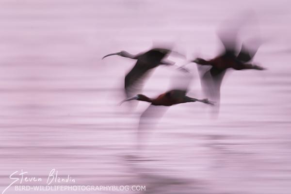 Glossy Ibis blur