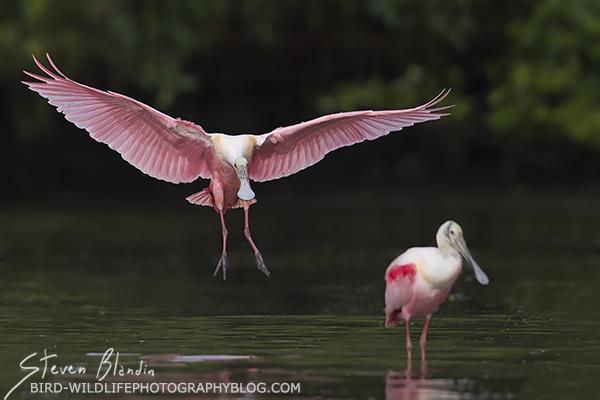 Spoonbill landing - Florida tour