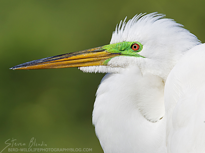 Great White Egret - Preserve access to Florida Wildlife