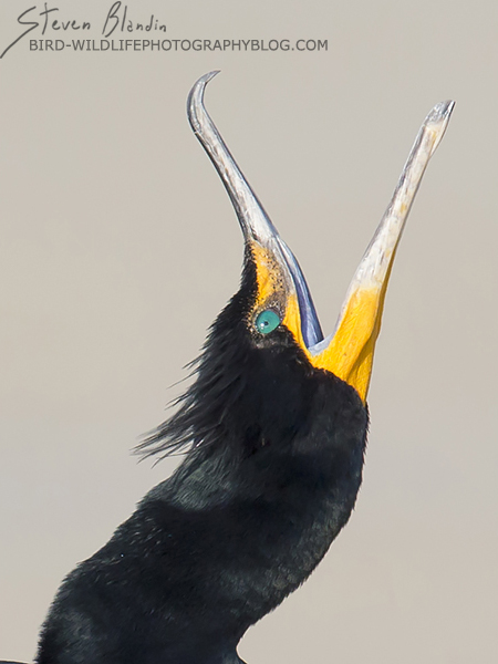 Double crested Cormorant - Portrait Bird Photography