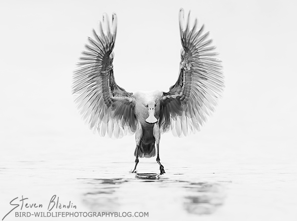 "Fine Art Bird & Wildlife Photography Prints: ""In Black"