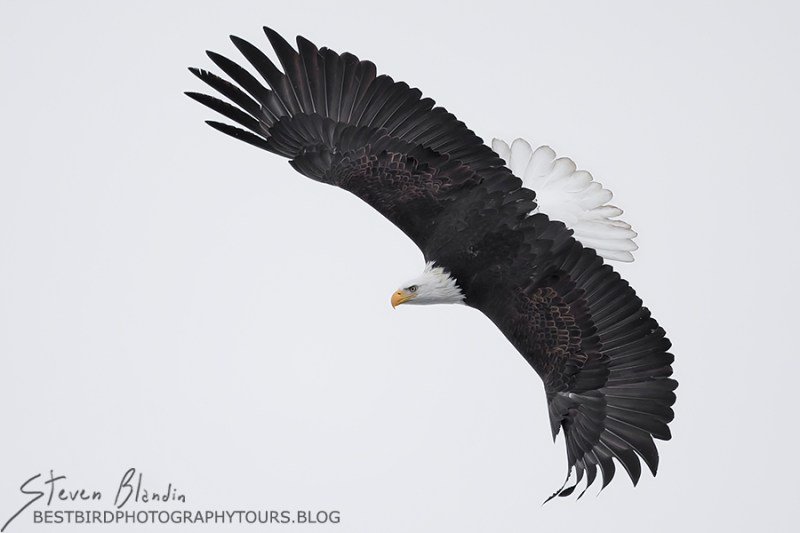 Adult Bald Eagle swooping down - Alaska Photography Tour
