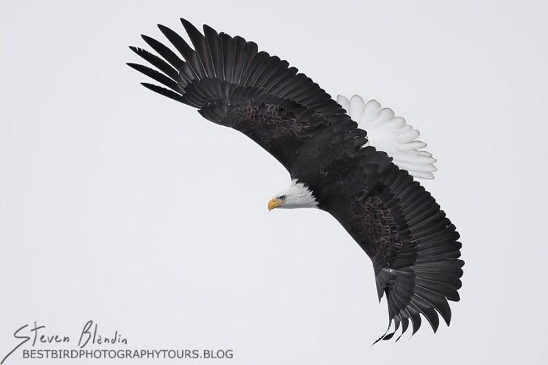 Adult Bald Eagle swooping down - Alaska Photography Tour