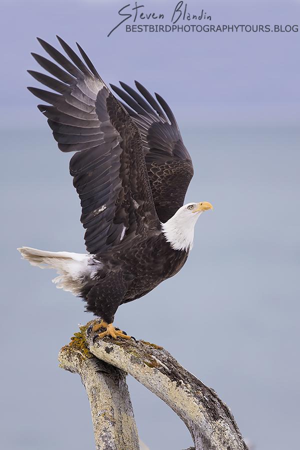 Bald Eagle taking off - Alaska Photography Workshop
