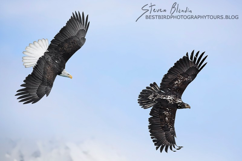 Bald Eagles in Flight - Alaska Photography Tour