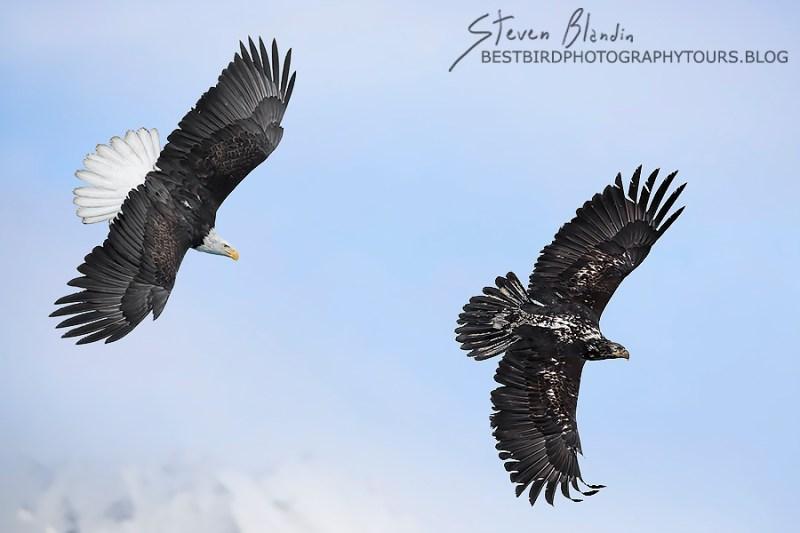 Bald Eagles in Flight - Alaska Photography Tour
