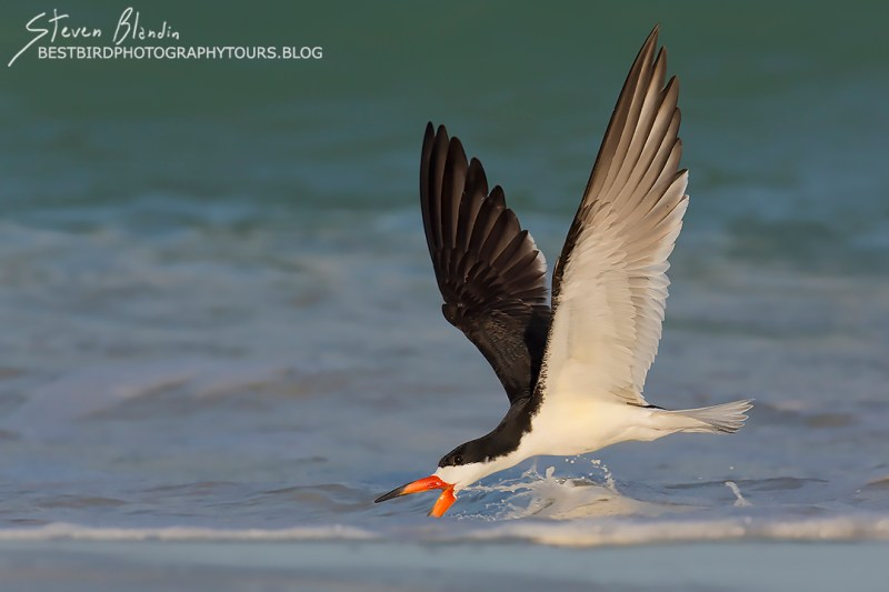 Black Skimmer - Indian Shores, Florida