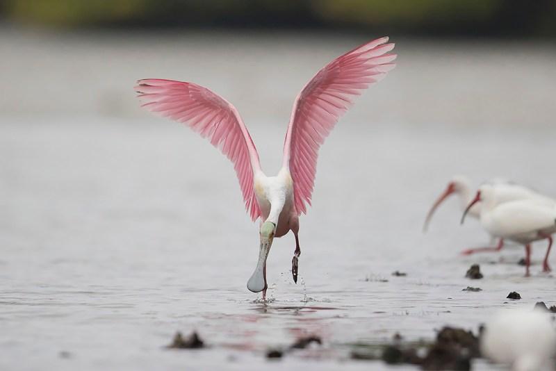 Roseate Spoonbill Landing 5 of 5 - Tampa Bay