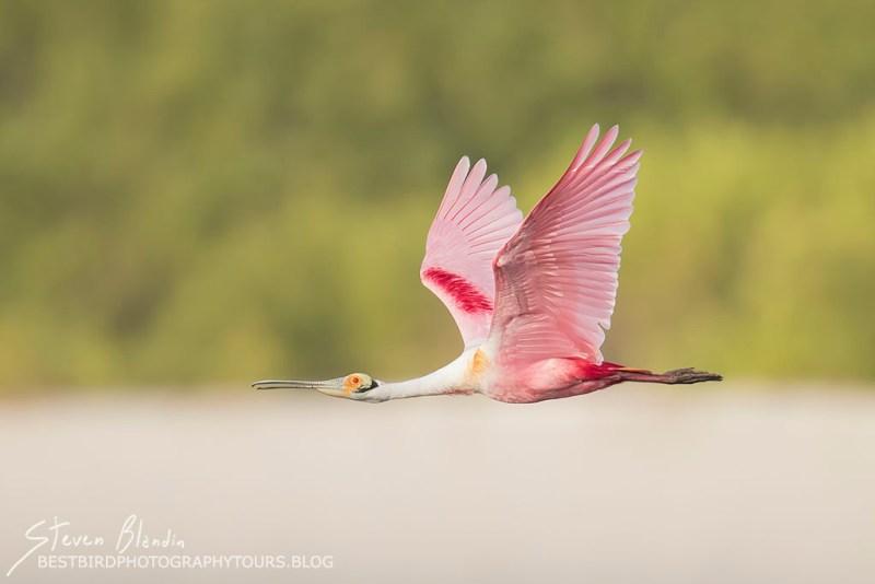 Florida Spoonbill in flight - Fine Art