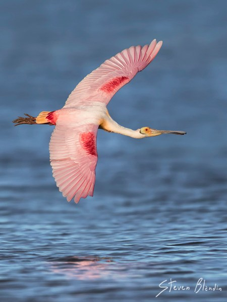 Roseate Spoonbill banking in flight