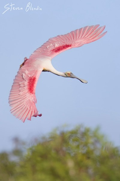 Florida Spoonbill banking down