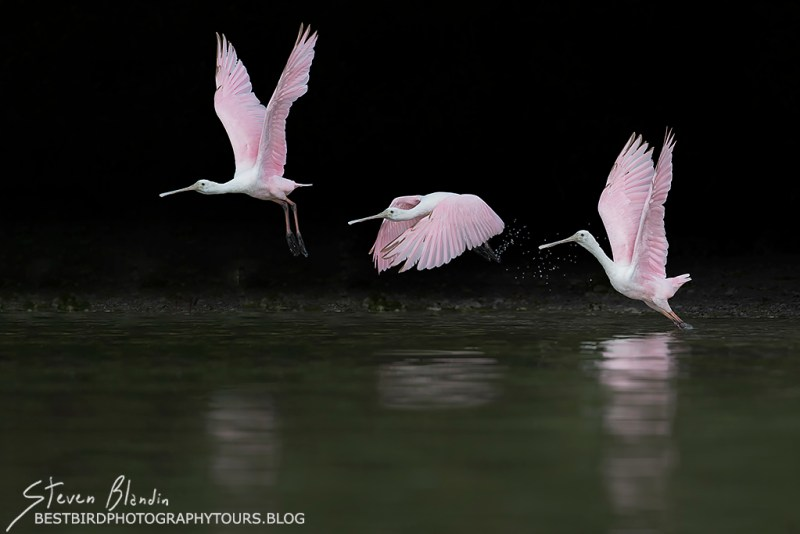Juvenile Spoonbill Taking Off