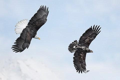 Alaska Bald Eagle Photography Tour - Banking Chase