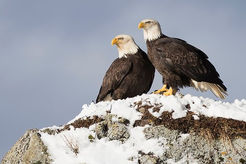 Alaska Bald Eagle Photography Workshop - Pair