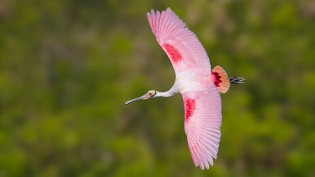 Florida Spoonbill Tour - Banking in flight