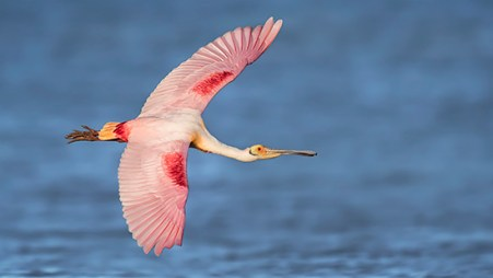 Florida Spoonbill Tour - Banking over the blue water
