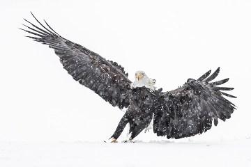 Bald Eagle Tour_Landing