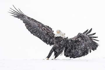 Bald Eagle Tour_Landing