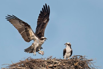 Florida Osprey Tour_At The Nest