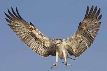 Florida Osprey Tour_Landing