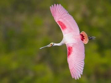 Florida Spoonbill Bird Photography Tour