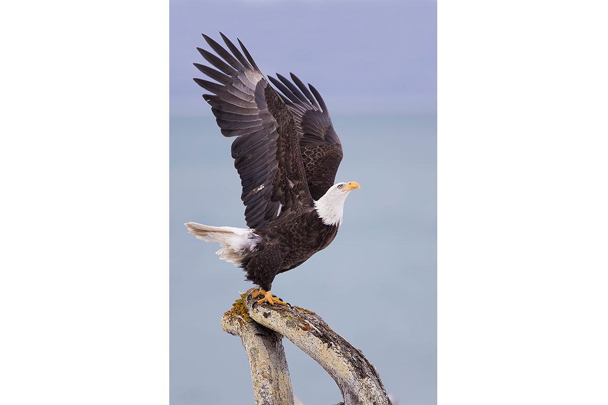 Alaska Bald Eagles_Fine Art_Ready To Soar