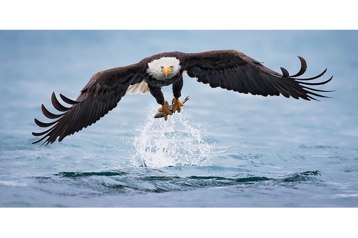 Alaska Bald Eagles_Fine Art_Fresh Out Of The Ocean